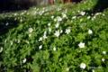 [長野県][花]泡の湯旅館前のニリンソウ群落