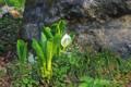 [長野県][花]泡の湯旅館前のミズバショウ