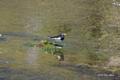 [長野県][上高地][鳥]セグロセキレイ @上高地・岳沢湿原
