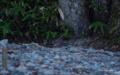 [長野県][上高地][鳥]オオルリの幼鳥? @上高地 大正池