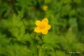 [北海道][雨竜沼湿原][花]シナノキンバイ