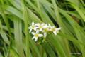 [北海道][雨竜沼湿原][花]イワイチョウ @雨竜沼湿原