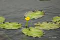 [北海道][雨竜沼湿原][花]ウリュウコウホネ