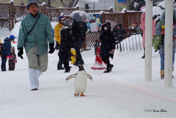 ペンギンのおさんぽ @旭山動物園