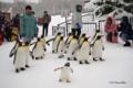 [動物][旭山動物園]ペンギンのおさんぽ @旭山動物園