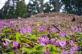 [花][道南]木地挽山 匠の森のカタクリ群落