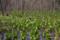 大沼公園のミズバショウ群落