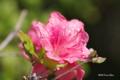 [北海道][恵山][花]恵山のツツジ