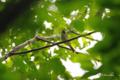 [北海道][鳥][ウトナイ湖]センダイムシクイ @ウトナイ湖