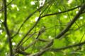 [北海道][鳥][ウトナイ湖]コガラ @ウトナイ湖