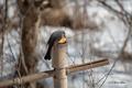 [ウトナイ湖][鳥][冬景色]ヒヨドリ @ウトナイ湖ネイチャーセンター