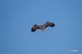[ウトナイ湖][鳥][冬景色]オジロワシ @ウトナイ湖