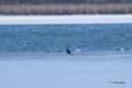 [ウトナイ湖][鳥][冬景色]オジロワシの幼鳥とカモ類・オオハクチョウ @ウトナイ湖