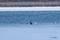 オジロワシの幼鳥とカモ類・オオハクチョウ @ウトナイ湖