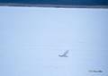 [ウトナイ湖][鳥][冬景色]ダイサギ @ウトナイ湖