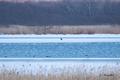[ウトナイ湖][鳥][冬景色]オジロワシの幼鳥とカモ類 @ウトナイ湖