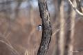 [ウトナイ湖][鳥][冬景色]コガラ @ウトナイ湖