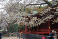[東京][花][桜] @渋谷金王八幡宮