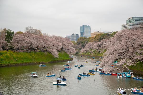 [東京][桜][花]