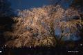[東京][桜][花]夜桜 @六義園