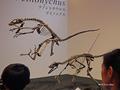 [化石][国立科学博物館][恐竜博2019]デイノニクス全身骨格復元 @国立科学博物館