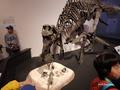 [化石][国立科学博物館][恐竜博2019]マイアサウラ全身骨格(実物) @国立科学博物館