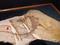 シノサウロプテリクス実物標本(矢印は掲載者追記) @国立科学博物館