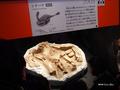 [化石][国立科学博物館][恐竜博2019]抱卵するシチパチ実物標本 @国立科学博物館