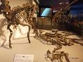 [化石][国立科学博物館][恐竜博2019]カムイサウルス(むかわ竜) @国立科学博物館