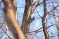 [北海道][鳥][ウトナイ湖]アカゲラ @ウトナイ湖