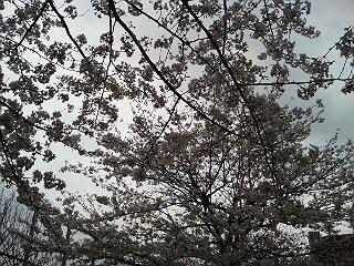 桜開花その2