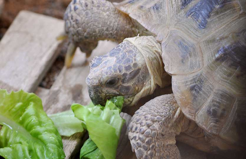リクガメとサラダ菜