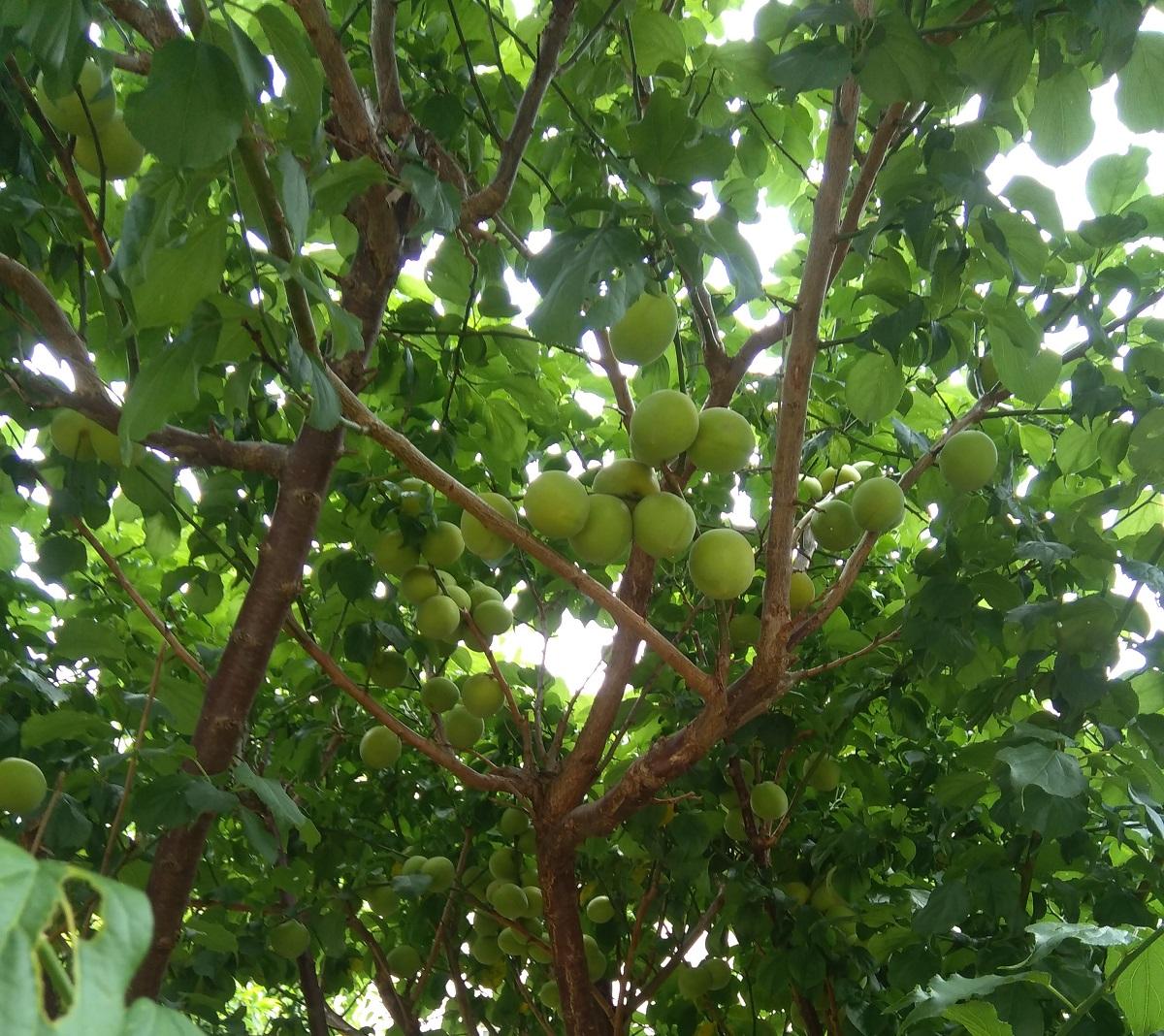 梅の木に梅がなっている画像