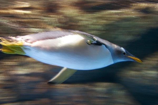 ジェンツーペンギン(八景島の水族館にて)