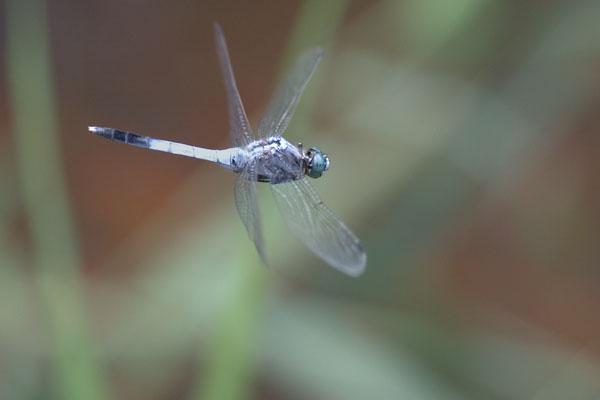 シオカラトンボの飛翔