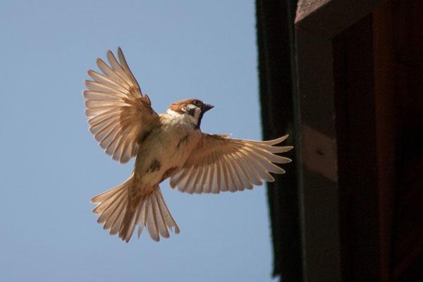 スズメの羽ばたき