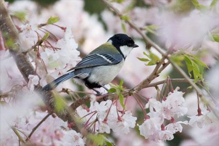 シジュウカラ&桜