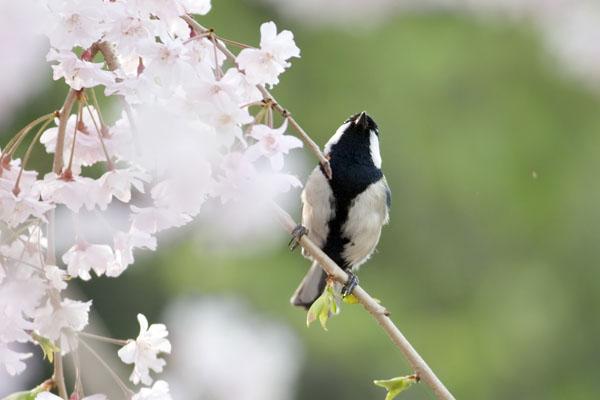 シジュウカラが桜にたたずむ