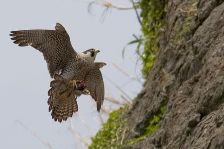 獲物を鷲掴みのハヤブサ エアブレーキ