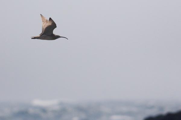 チュウシャクシギ飛翔