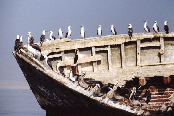 ペルーの海鳥