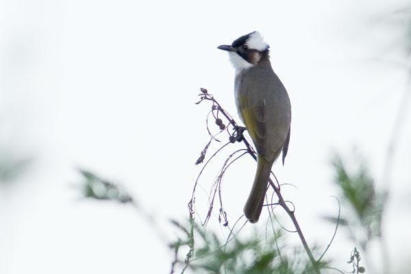 個別「[野鳥]シロガシラ」の写真...