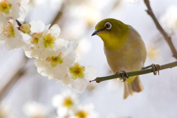 梅の枝にとまるメジロ
