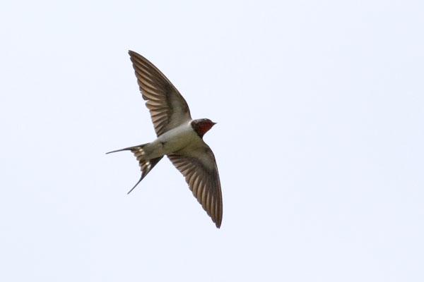 LJ�(ツバメ) ƒ�鳥見鳥 Á�りどりみどり