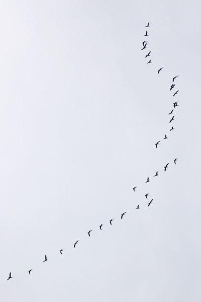 カワウの群