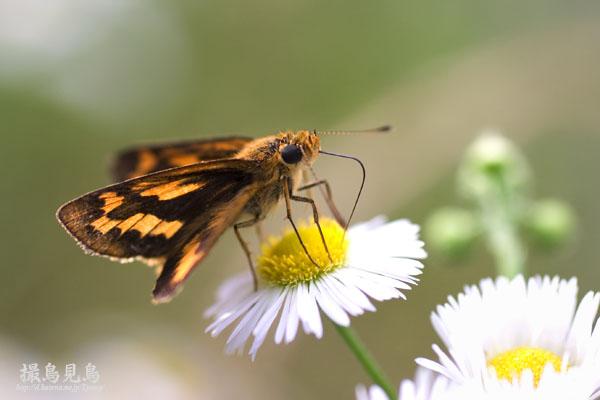 キマダラセセリ春型
