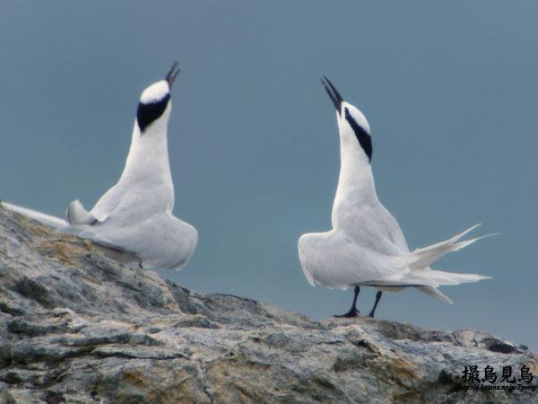 エリグロアジサシのダンス