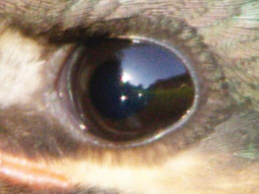 カワセミの瞳に何が映っているのか
