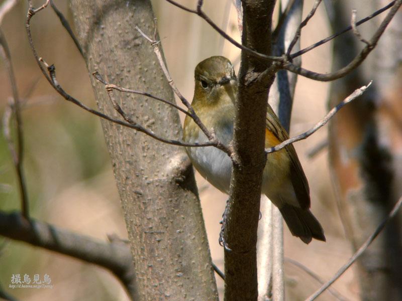 ルリビタキ♂幼羽の好奇心