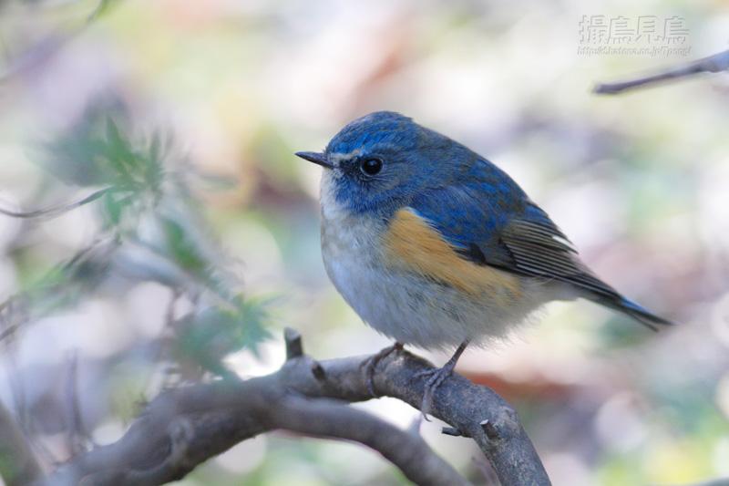 個別「[野鳥]春めく背景のルリビ...